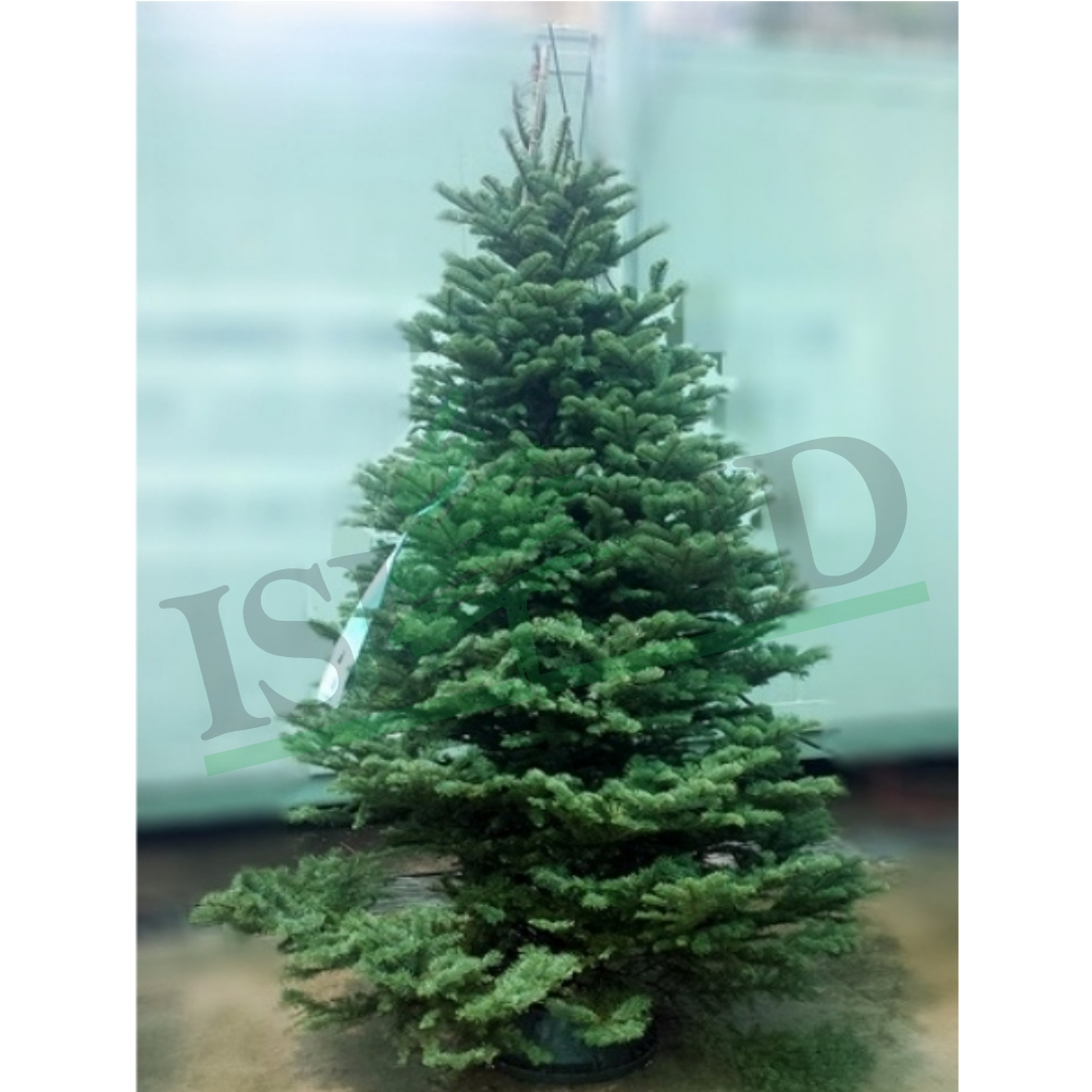 NOBLE FIR CHRISTMAS TREE 7FT-8FT (WITH STAND)